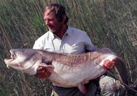 84lb Wels Catfish